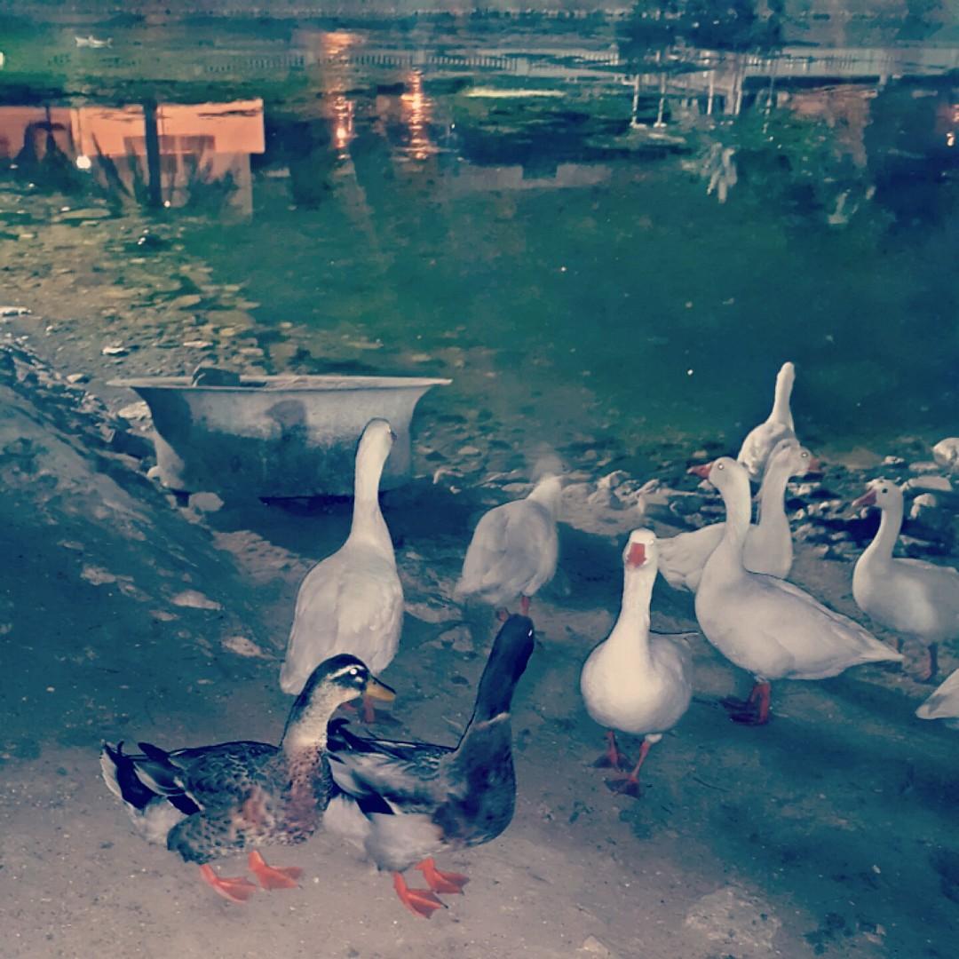 In love with #ducks � @ Water Garden - Bahrain